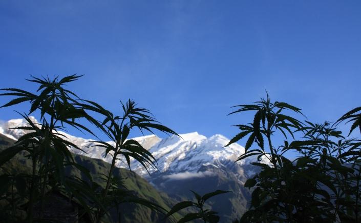 cannabis nepal